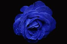 Hämta bilder blue rose, dagg, bokeh, close-up, blå blommor Rose Images, Rose Photos, Flower Images, Rose Pictures, Flower Photos, Blue Roses Wallpaper, Wallpaper Backgrounds, Iphone Wallpaper, Wallpapers