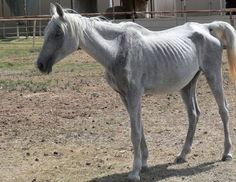 How to feed a rescue horse, starving horse, malnourished horse, neglected horse, dr getty, juliet getty