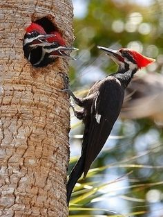 The Pileated Woodpecker is one of the biggest, most striking forest birds on the continent. Its nearly the size of a crow, black with bold white stripes down the neck and a flaming-red crest. Look (and listen) for Pileated Woodpeckers whacking at dead trees and fallen logs in search of their main prey, carpenter ants, leaving unique rectangular holes in the wood. The nest holes these birds make offer crucial shelter to many species including swifts, owls, ducks, bats, and pine martens.