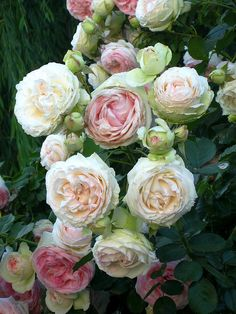 Old English Roses. Lovely.