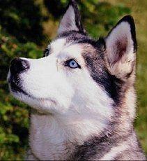 Siberian Huskies... Facts and Information on Siberian Huskies and Husky puppies