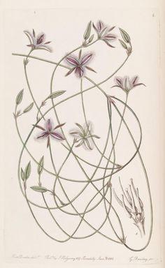 v. 26 (1840) - Edwards's botanical register. - Biodiversity Heritage Library