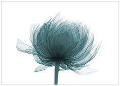 Tattoo brainstorming. Maybe something like this -- XRay of peony blossom. Put an otherworldly phoenix egg xray inside...