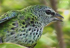 Saíra-negaça Spotted Tanager - Aves Ornamentais - Pássaros | Fazenda Visconde