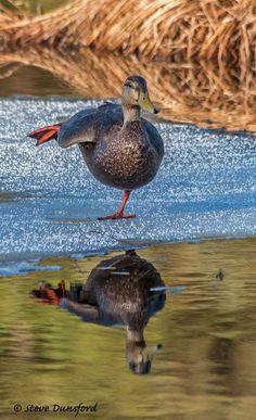 American Black Duck male