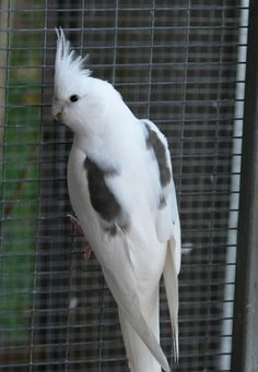 Cockatiel Mutations description, pictures and colour standard All Birds, Little Birds, Flight Cage, Cockatiel Cage, G Song, Easy Bird, Conure, Parakeet, Beautiful Birds