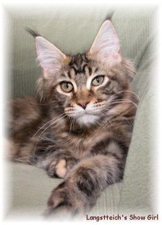 Mojo Maine Coon Cats Maine Coons Maine Coon Kittens Maine Coon Cats Maine Coon