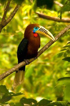 Birds Rufous-necked Hornbill