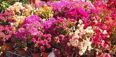 Bouganville @Flower Market