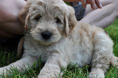 mini golden doodle - someday i will be adventureous enough to take on a cute little golden doodle, just like this one!