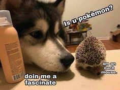 Some Helpful Ideas For Training Your Dog. Loving your dog does not mean you are willing to let him go hog wild on your possessions. That said, your dog doesn't feel the same way. Funny Dog Memes, Funny Animal Memes, Cute Funny Animals, Cat Memes, Funny Dogs, Stupid Animals, Dog Funnies, Dog Jokes, Funny Puppies