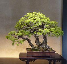 Japanese white pine  (Japanese five needle pine)