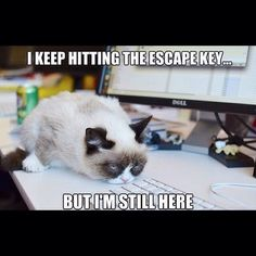 Grumpy cat, grumpy cat meme, grumpy cat quotes, funny grumpy cat quotes, grumpy cat jokes …For the funniest quotes and hilarious pictures visit www. Grumpy Cat Quotes, Gato Grumpy, Funny Grumpy Cat Memes, Cat Jokes, Funny Cats, Funny Animals, Cute Animals, Grumpy Kitty, Cats Humor