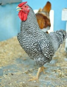Bantam Chickens For Sale, Bantam Breeds, Rhode Island Red, Chicken Breeds, Baby Chicks, Pets, Ice, Places, Board