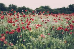 i dream of fields of poppies