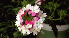 What does verbena smell like?