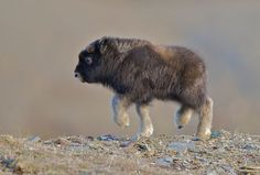 """Baby Muskox  This is a baby muskox who is just two weeks old. The muskox or musk ox (Ovibos moschatus) is known for its thick coat and the strong odor emitted by the males, from which its name derives. This """"musky"""" odor is used to attract females during mating season. The female muskox are pregnant up to eight months. The infants are able to keep up with their mothers and the rest of the herd just a few hours after being born."""