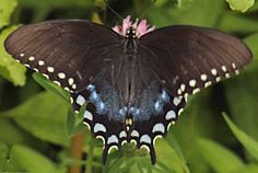 Mississippi State Butterfly, Spicebush Swallowtail