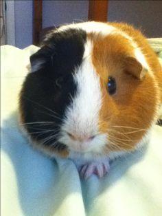 My fat guinea pig