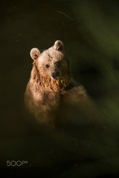 Grizzly bear in the water - national park - Izmir Turkey.