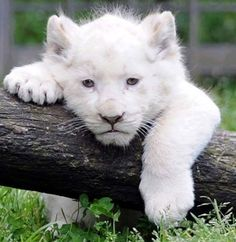 An adorable white lion cub is photographed in his pen at the Pont-Scroffs Zoo in France. What a cutie! An adorable white lion cub is photographed in his pen at the Pont-Scroffs Zoo in France. What a cutie! Big Cats, Cats And Kittens, Cute Cats, Beautiful Cats, Animals Beautiful, Hello Beautiful, Beautiful Pictures, Cute Baby Animals, Animals And Pets