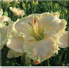 ICY ICY WIND    Pete Harry Daylilies... Daylilies Of Distinction