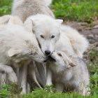 Arctic wolf family Arctic Wolf, Husky, Wildlife, Storm Clouds, Dogs, Animals, Animales, Animaux, Thunder Clouds