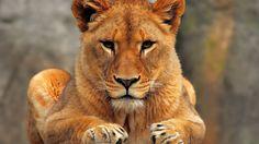 Beautiful lioness face