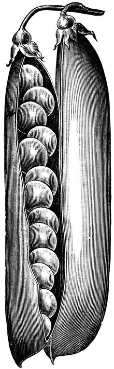 """Image from page 21 of """"High grade bulbs and seeds for fall planting"""" Science Illustration, Plant Illustration, Botanical Illustration, Gravure Photo, Linear Art, Scratchboard Art, Engraving Illustration, Light In The Dark, Printmaking"""