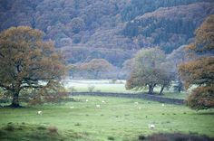 Free image of Lush English countryside with grazing sheep Misty Day, English Countryside, Free Stock Photos, Free Images, Lush, Sheep, Country Roads, Gallery, Landscapes
