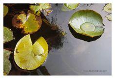 floating leaf...