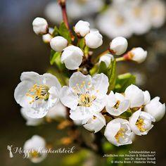 Schlehenblüten #naturgenuss #wildermarkus #schlehe #hecken #sträucher #blüte