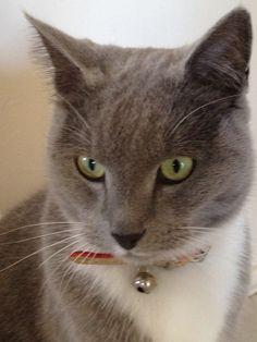 Clyde 'Russian blue' cat