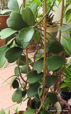"""Hoya """"Keri"""" how to grow Hoya Plants https://www.houseplant411.com/houseplant/hoya-plant-how-to-grow-care-tips"""