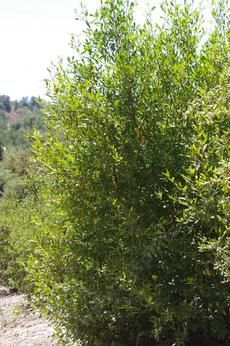 Image result for escallonia shrub large hedges for 741 evergreen terrace