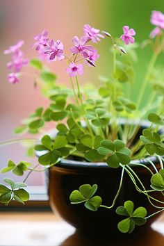 Planted a 1.00, Grow Your Own Clover seed deal from the dollar section from Target.  Perfect plant for those with a brown thumb.  Last year, I grew the Basil from the same deal, and it grew and grew...
