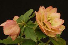 Helleborus x hybridus 'Amber Gem' (Amber Gem Lenten Rose)