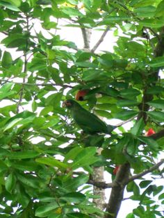 The Grand Cayman Parrot (Amazona Leucocephala Caymanensis), posing for a photo in an ackee tree in Bodden Town.