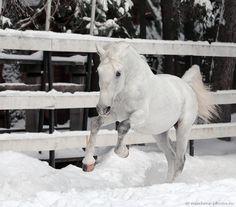lipizzaner horses and patton | Lipizzan Horses