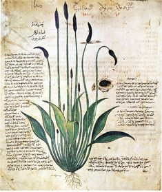 Plant image of plantain (Plantago asiatica L., Fam plantaginea) from the Vienna Dioscorides (leaf 29, verso). Descriptions of Dioscorides, Galen and Krateuas compared to 30 recto. Chortasmenos of John (1406). Description: An astringent and inhibits blood flow. It can be used against inflammations and to treat ulcers, bites and wounds. Also used for mouthwash.