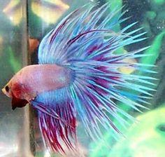 Betta Splendens Corona Mascle. Aquarium del Ges,