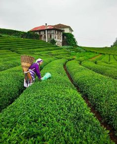 Tea fields in Cayeli - Rize / Turkey - See Pic Pamukkale, Champs, Wonderful Places, Beautiful Places, Trabzon Turkey, Places To Travel, Places To Visit, Visit Turkey, Turkey Travel