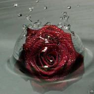 26-Rose_407590_3315881635024