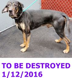 SAFE 1-12-2016 --- Manhattan Center  My name is G FORCE. My Animal ID # is A1062408. I am a male black and tan great dane and germ shepherd mix. The shelter thinks I am about 5 YEARS old.  I came in the shelter as a OWNER SUR on 01/07/2016 from NY 10452, owner surrender reason stated was NO TIME. http://nycdogs.urgentpodr.org/g-force-a1062408/