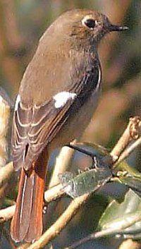 Daurian Redstart(female).