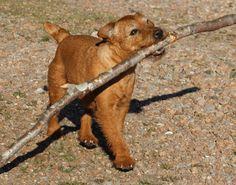 patterdale terrier history red fell terrier pepper
