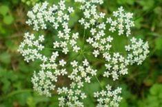 Bedrovník, či ľudovo lomikameň. Urobte si nálev, či tinktúru Herbs, Pastor, Herb, Medicinal Plants
