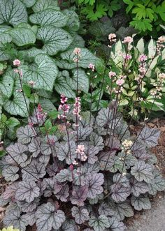 another example of a beautiful shade garden, flowers, gardening, outdoor living, Plant Combination Brunnera Jack Frost left with Heuchera Silver Scroll in the foreground and Hosta Fire and Ice in the upper right
