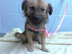 #A476511 Release date 12/12 I am a male, tan and black Terrier and Chihuahua - Long Haired mix. I have been at the shelter since Dec 05, 2014. City of San Bernardino Animal Control-Shelter. https://www.facebook.com/photo.php?fbid=10204076380567371&set=pb.1160364024.-2207520000.1417905608.&type=3&theater