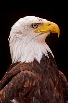 Serious bald eagle by Tambako the Jaguar, via Flickr